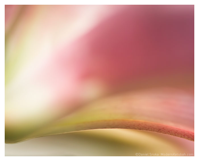 The Stargazer Lily  fine art print by Daniel Sroka